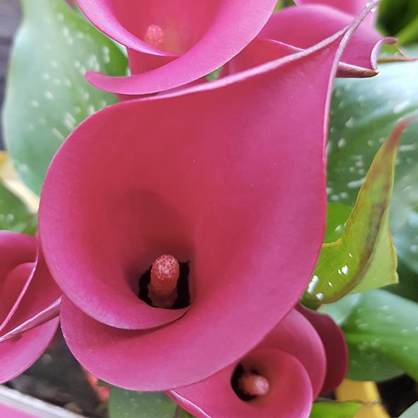 Fleurs-rose-jardinerie-du-léman