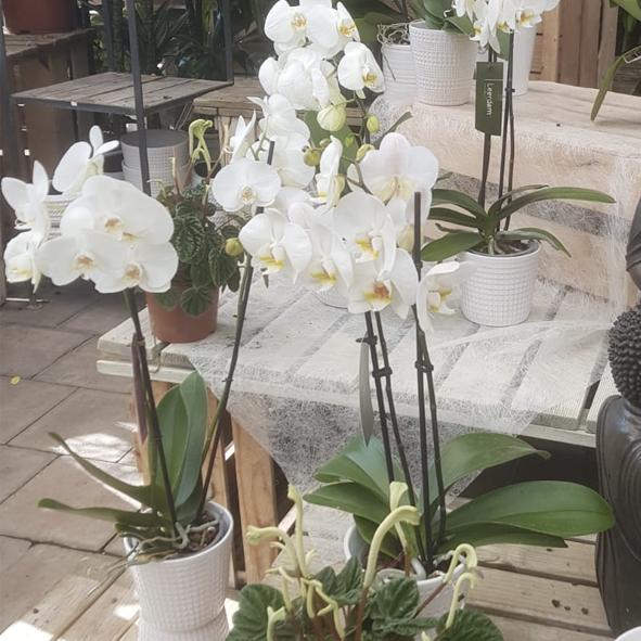Orchidée-blanche