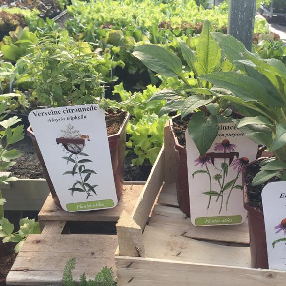 Plantes-utiles-plantes-du-bien-être